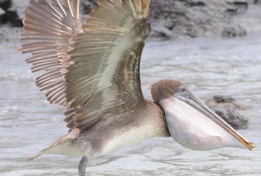 14.口の袋に魚をいっぱい入れて飛ぶガラパゴスカッショクペリカン=ガラパゴス諸島サンタクルス島で