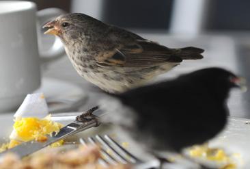 16.人間の食べ残しをついばむダーウィンフィンチ=ガラパゴス諸島バルトラ島で
