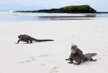 17.真っ白な浜辺を歩くウミイグアナ=ガラパゴス諸島サンタクルス島で