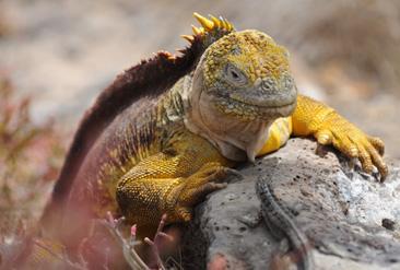 2.リクイグアナ(奧)とヨウガントカゲ(手前)。両者は体に付着した虫などを食べてもらうなど共生関係にある=ガラパゴス諸島サウスプラザ島で