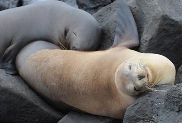 22.眠りながら子供に乳を与えるガラパゴスアシカ=ガラパゴス諸島サンクリストバル島で