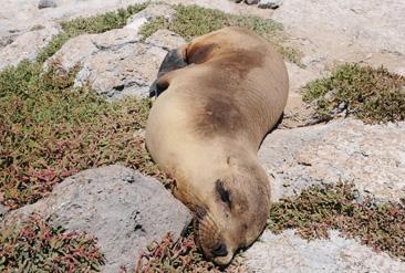 24.日光浴をしながら眠るガラパゴスアシカ=ガラパゴス諸島サウスプラサ島で