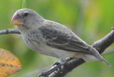 26.健康なダーウィンフィンチ=ガラパゴス諸島サンタクルス島で