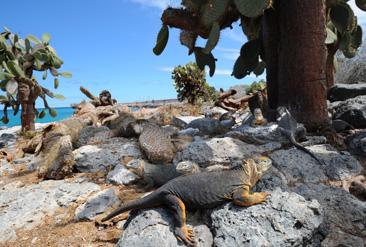 28.餌となるウチワサボテンが落ちてくるのをじっと待つガラパゴスリクイグアナ=ガラパゴス諸島サウスプラザ島で