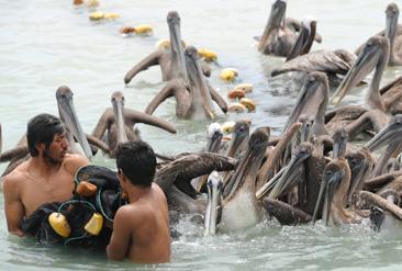 3.網で小魚を捕った漁師を追いかけるガラパゴスカッショクペリカン=ガラパゴス諸島サンタクルス島で