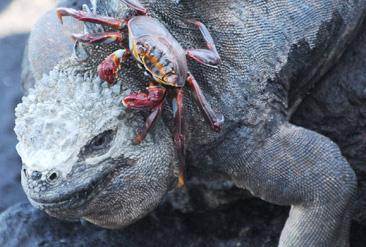4.ウミイグアナの頭の上を歩くガラパゴスベニズワイガニ=ガラパゴス諸島サンタクルス島で