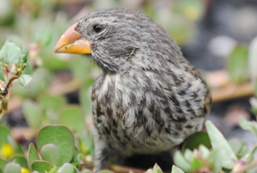 5.ダーウィンの進化論のヒントとなり、グラント夫妻が研究したフィンチの一種=ガラパゴス諸島サンタクルス島で