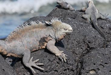 6.体温の回復のために日光に身をさらすウミイグアナ=ガラパゴス諸島サンタクルス島で