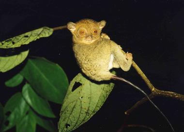 大きな目と耳、裸の長い尾が特徴