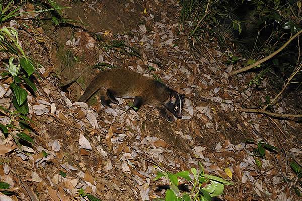 巣穴から出てきたところでハクビシンの巣穴と判明した。 この巣のすぐ後ろ... どうぶつのくに.n