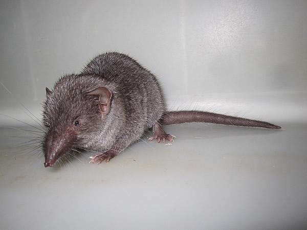 ジャコウネズミの画像 p1_6