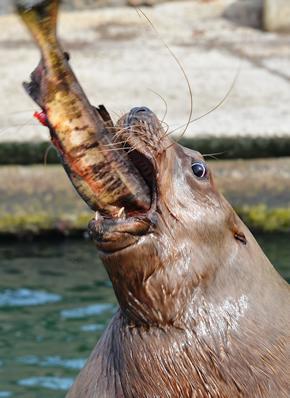 サケを食べるトド