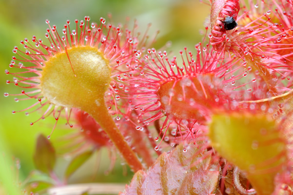 モウセンゴケは食虫植物。毛先を腺毛と呼び、ここから粘液を出して虫を絡め捕食する。