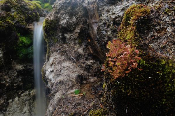 滝の脇にも、苔を土台に生えるモウセンゴケ。