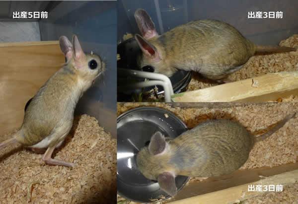 図4 オオミユビトビネズミの妊娠末期の体型