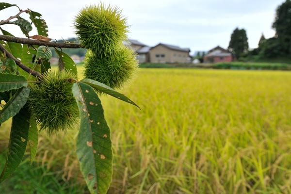 実りの田んぼ金色に輝き美しい。栗の実もそばでは実らせていた。