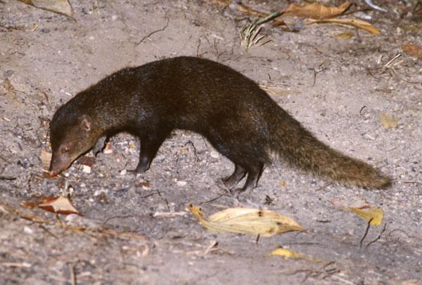 胴長、短足。尖った吻、全体に細長い動物だ。