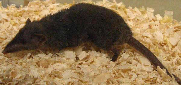ジャコウネズミ。確かに日本人の多くが持っているであろうイメージのネズミの条件を満たして(?)いるのかもしれません。