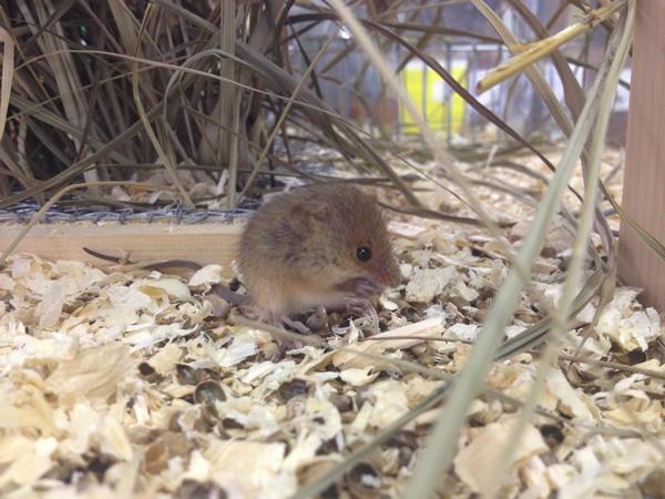 生後2週間日程度のカヤネズミのこども。丸い鼻先、小さな丸い耳、茶色のからだ。しかしこんなに長いしっぽのハムスターは普通みなさん見ませんよね?(しっぽの長いハムスターという名前のネズミもいるにはいます。しかしペットショップなどで普通に目にすることはないでしょう。)
