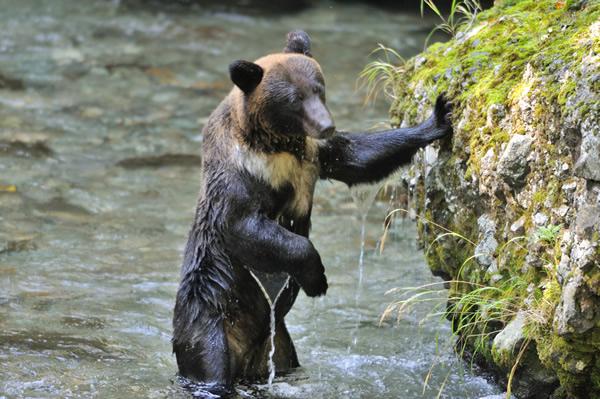 魚獲りのヘタクソなクマが、例外なく立ち上がるのが可笑しい。