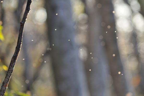 雪虫が舞う。
