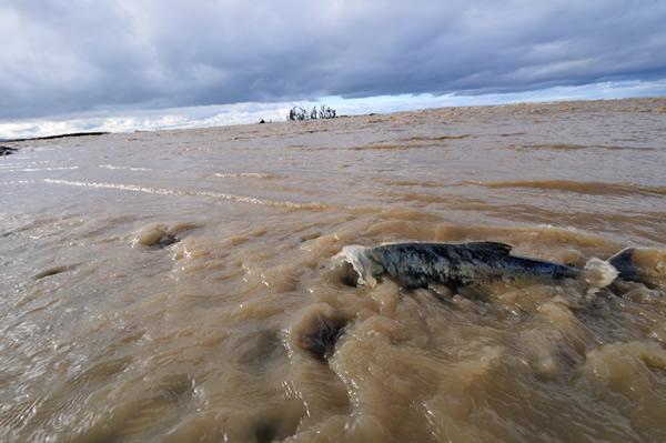 晴れ間が見えた翌日、収まらない濁流に海まで押し戻されたサケが流れへ懸命に逆らう。