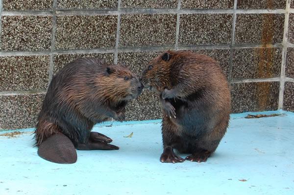 お見合い中のビービー(右)とダブ(左)