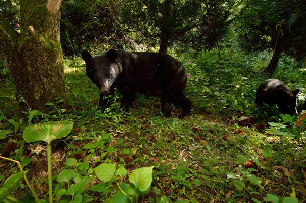 私が定点撮影しているのは標高がほとんどない里の雑木林。 そんな栗の木の下に親子熊が現れた。