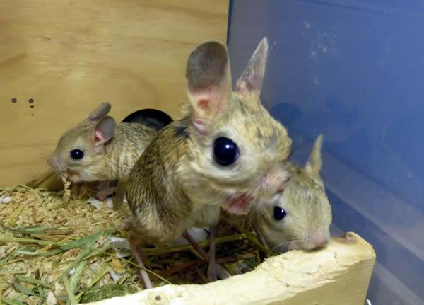 図4 オオミユビトビネズミの母子(左右が子、生後47日)