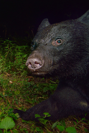 カメラの前を動物が通過するとセンサーが反応して無人カメラが勝手に映してくれる仕組み。発光するストロボに驚くこともなく近づいてくるクマの姿が映されていた。クマに出会った時に脅かして追い払うことは不可能であることの証明である。クマに会わないための対策が一番大事だといえるのである。