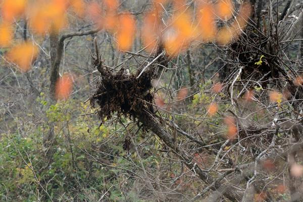 ツキノワグマは樹上の木の実を食べるために写真のようなクマ棚ができる。 見た目は巨大な鳥の巣のようなもの。木々が紅葉して落葉しだすとその存在がわかりやすくなる。