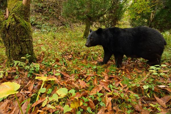 定点撮影の現場で9月から11月までずっとカメラに写っていることから、クマの生息域はすでに私たちのすぐそばまで来てしまっていると考えるのが妥当である。