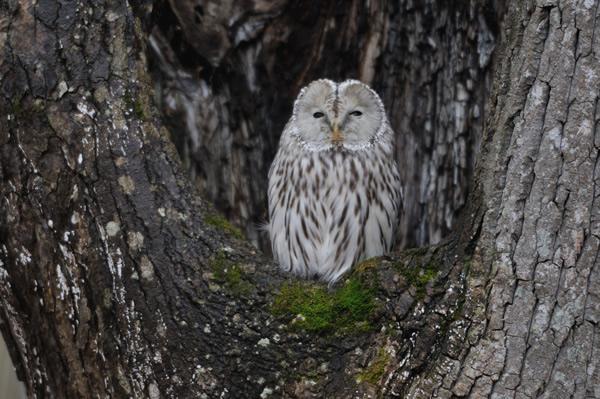 森を濡らし、そぼ降る雨と混じる少しの雪の中、もの憂げにエゾフクロウが過ごしていた。