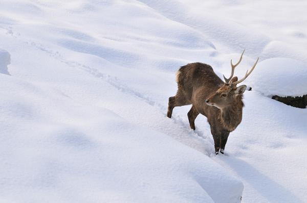 雪原の雄ジカをみて何やらトナカイを連想してしまった。