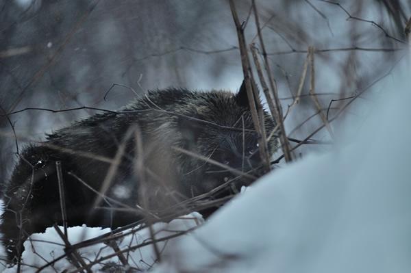 冬眠が遅れているらしい、二才程のクマが僕を見ている。