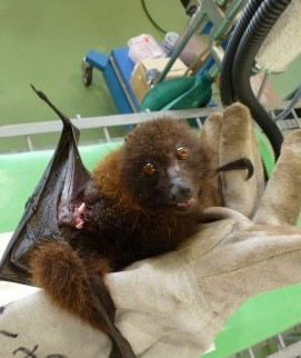 交通事故により、右腕を骨折したオリイオオコウモリ