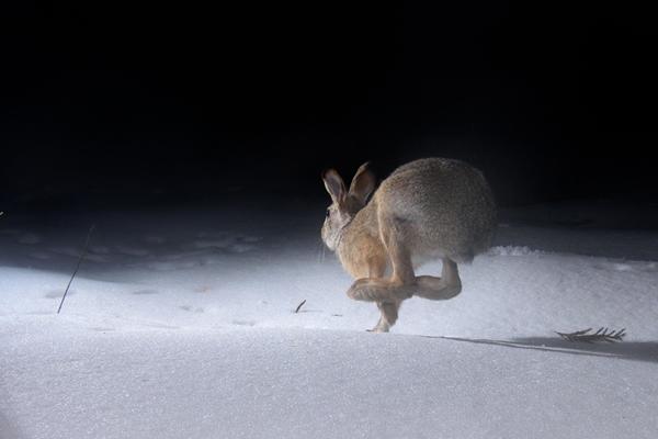 ウサギの走りは大きくJumpした後、最初に左右の前脚を前後に並べて着地をする。次に後ろ脚が前足の着地地点よりも前方に着地する。