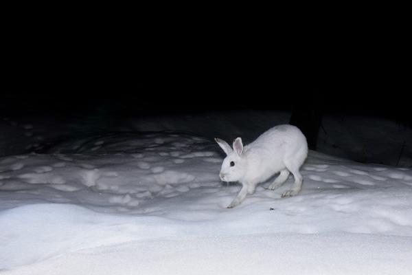 これが普通に白化したトウホクノウサギ。やはりこれだと保護色で守られているのがよくわかる。 無人カメラの設置場所が低地であるためか、白化するタイプが少なく思える。となると日照時間以外にも気温が影響しているとも思えてくる。