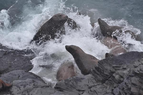 大小入り乱れ、楽しそうに白波に遊ぶトド。