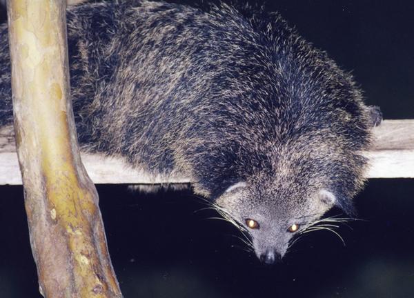 黒色でつやのある長い毛に覆われている。