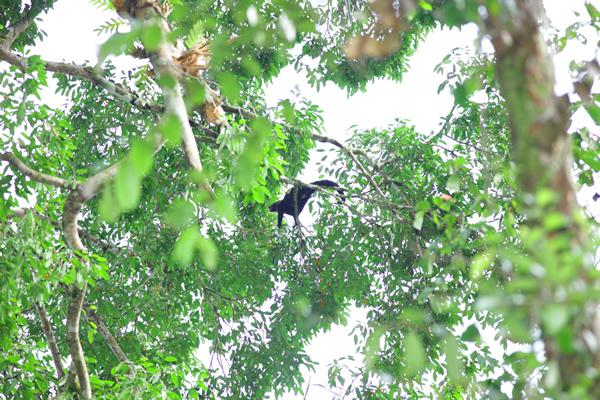 樹上性が強く、主に夜行性だが日中もしばしば目撃される。