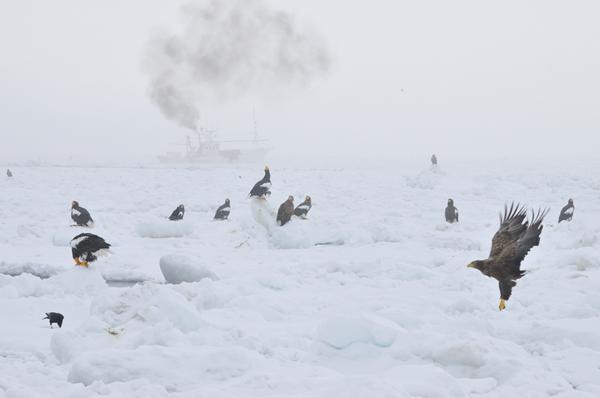 氷上に集まったオオワシと、煙を上げる操業中のスケソウダラ漁船。