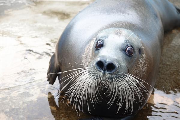 立派な髭が特徴の「アゴヒゲアザラシ」