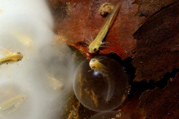 通常卵のうの中に一つ一つの卵が入っているが、何らかの要因により卵のうの外に一つの卵があった。先に生まれた兄弟が卵の外からまるで誕生を励ますかのように覗き込むようなイメージが印象的だった。白い卵のうの中にはこの写真に写る範囲で四匹のクロサンショウウオが観察でき、うち三匹は卵の中、もう一匹は卵から出た後の卵のう内にとどまる幼生。