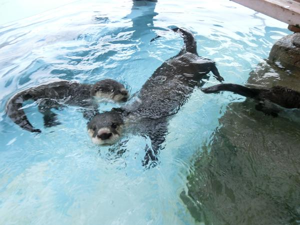 お母さんのまわりで水泳練習中