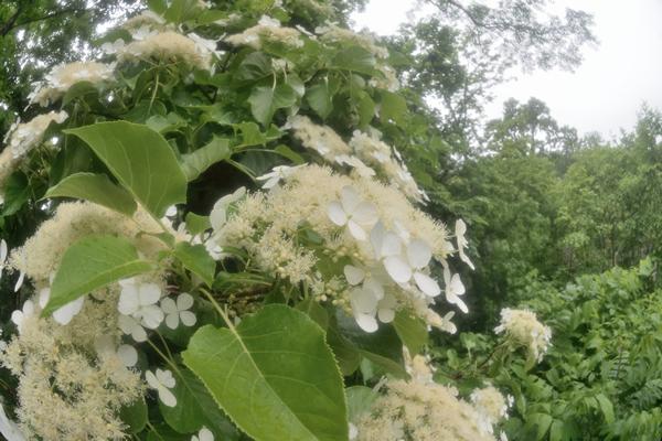 小雨にツルアジサイが咲き誇る。