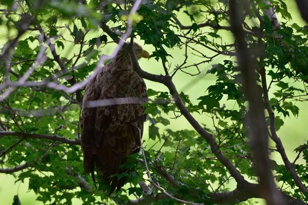 樹葉の隙間から鋭い視線を送るオジロワシ。