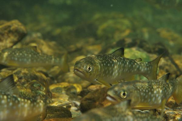 5月、ツマグロ化(背ビレの黒化/降海期の特徴)したイワナが海へ向かって下り始めていた。 サイズは12センチほど、2~3齢と推定される。 イワナは河川残留型で、アメマスは海や湖への降海型の呼称。 生息する河川が過密状態だったり、川での生育が不利な場合、海へ下る習性を持つ。