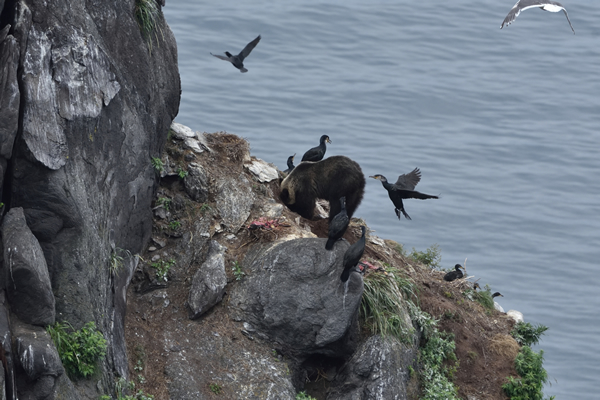 クマは連日、非力なウミウをいいように襲い捕食する。 懸命に脆弱な抵抗を続ける親鳥。 しかしヒグマは執着心が強く、全てを食い尽くすまで訪れるはずだ。