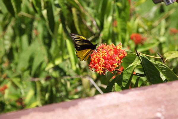アンフリサスキシタアゲハ。頻繁に花を訪れて吸蜜する。